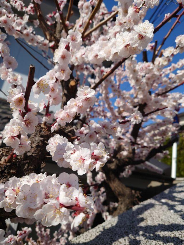 【新卒ブログ】もうすぐ春ですね♩(石﨑)