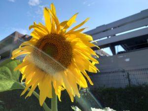 【新卒ブログ】夏だ!ひまわりだ!(石﨑)